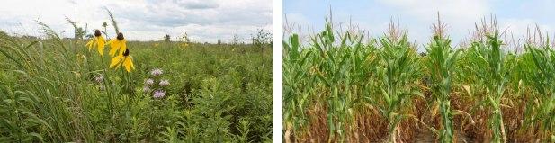 grassland corn